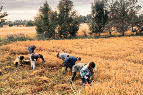 Rice harvest in the Camargue, © Atelier LUMA