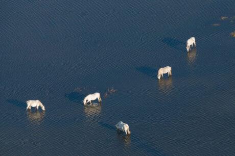 Chevaux dans l'eau, © Jean Emmanuel Roché