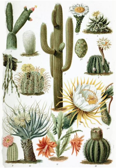 © Cactaceae • Crédits : G. Mütrel